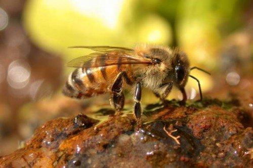 Голые пчелы