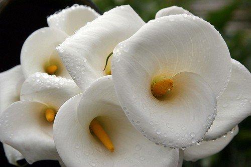 Хризантема. Комнатная. Выращивание и уход в домашних
