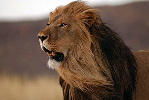 самый большой лев в мире фото