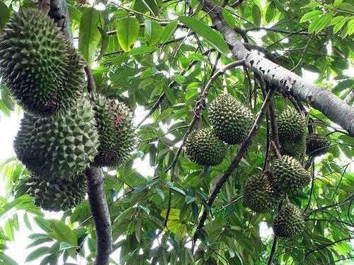 Самый вонючий фрукт
