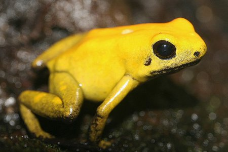 Самая ядовитая лягушка в мире • Живая природа