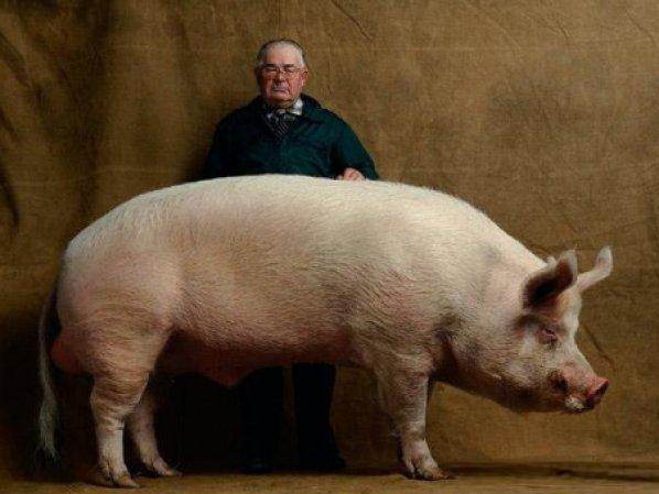 Самая большая свинья в мире: где она живет?